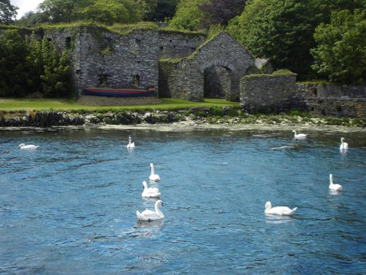 Swans 028